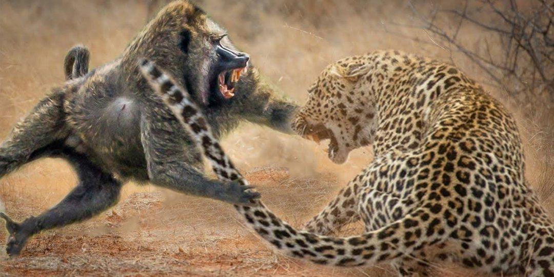 maxresdefault - Combattimento tra animali